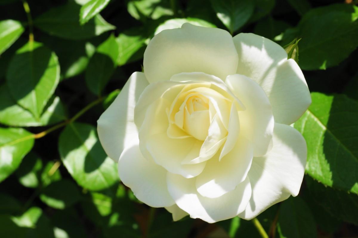 ピンクのバラに引き続き、今度は白いバラも咲き始めました。